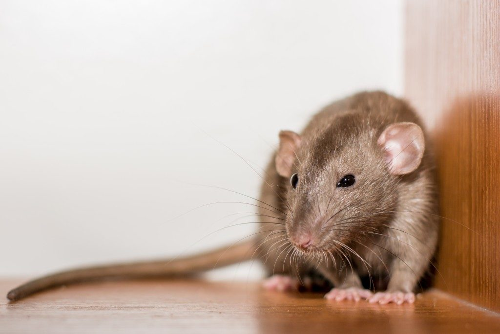 domestic rat sitting in the corner of the wooden wall