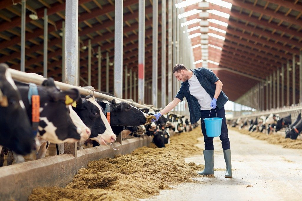 man feeding the cattles inside the stockyard