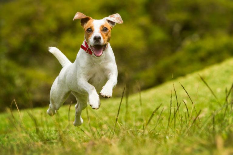 dog running thru field